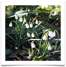 AT D. Sunday - Admiring the snowdrops - Anne Tidswell