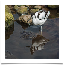 Avocet with reflection (Martin Mere) - Richard Nicholls