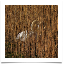 BY 3 - Swans at Moore Nature Reserve - Chris Beesley
