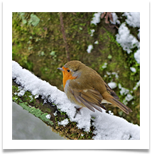 BY 7 - Robin in the Snow - Chris Beesley