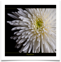 CHRYSANTHEMUM - Des Hawley