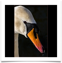 PORTRAIT OF MUTE SWAN - Des Hawley