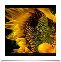 SUNFLOWER - Des Hawley